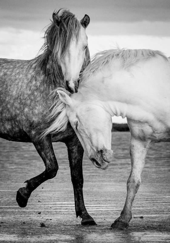 Horse Art Print featuring the photograph Stallions Of The Carmargue by Tim Booth