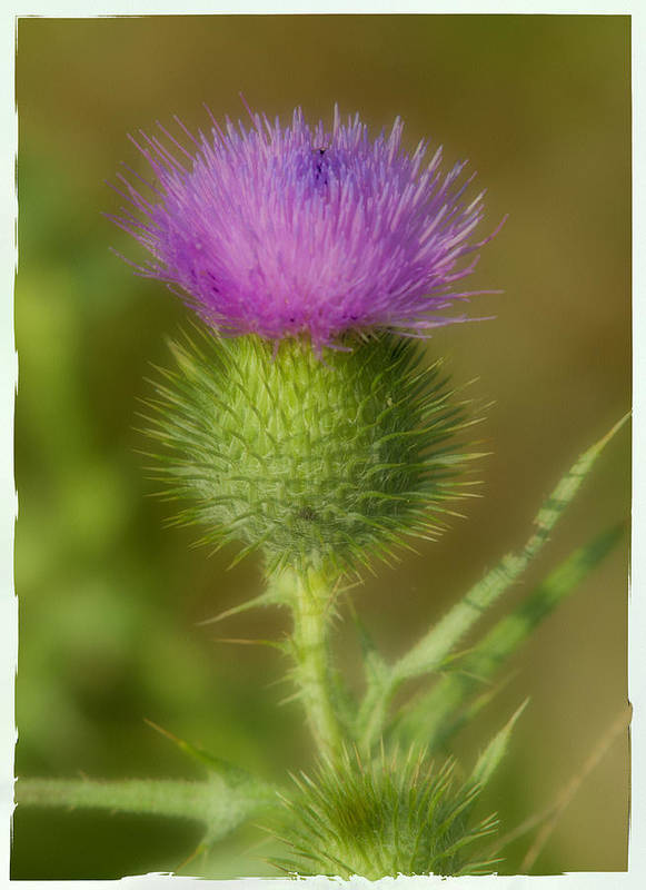 Thistle Art Print featuring the photograph Soft Thistle by Cindy Lindow