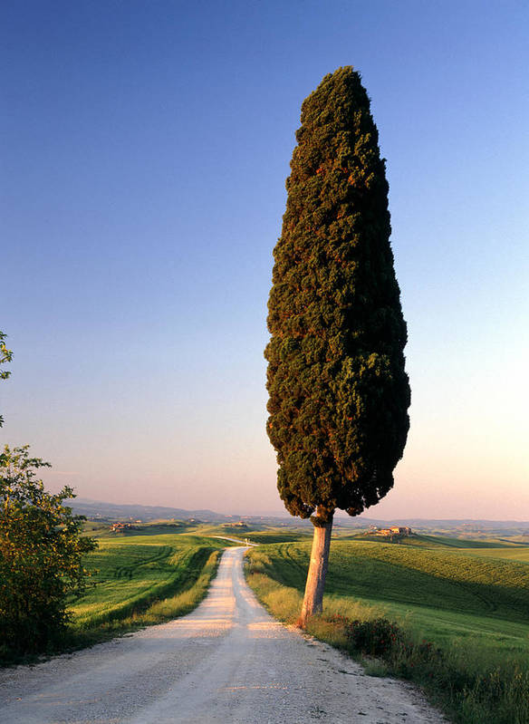 Italy Art Print featuring the photograph Lone Cypress by Michael Hudson