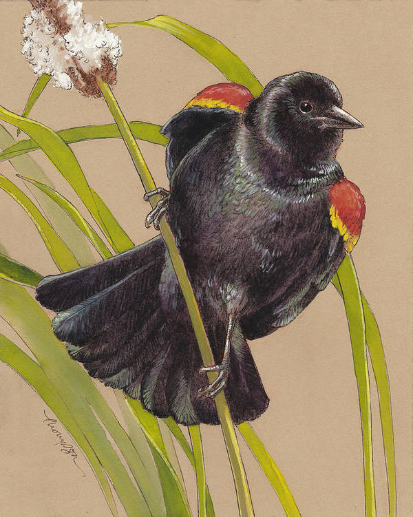 Red Winged Blackbird 1 by Tracie Thompson