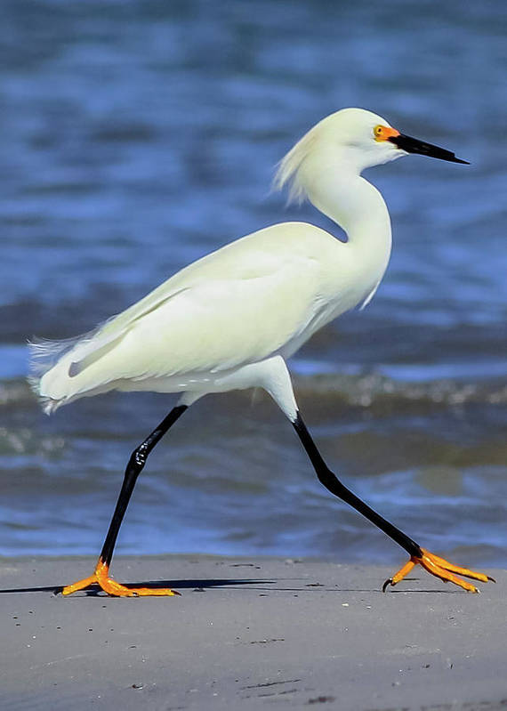 Prancing Snowy Egret by Maggie Brown