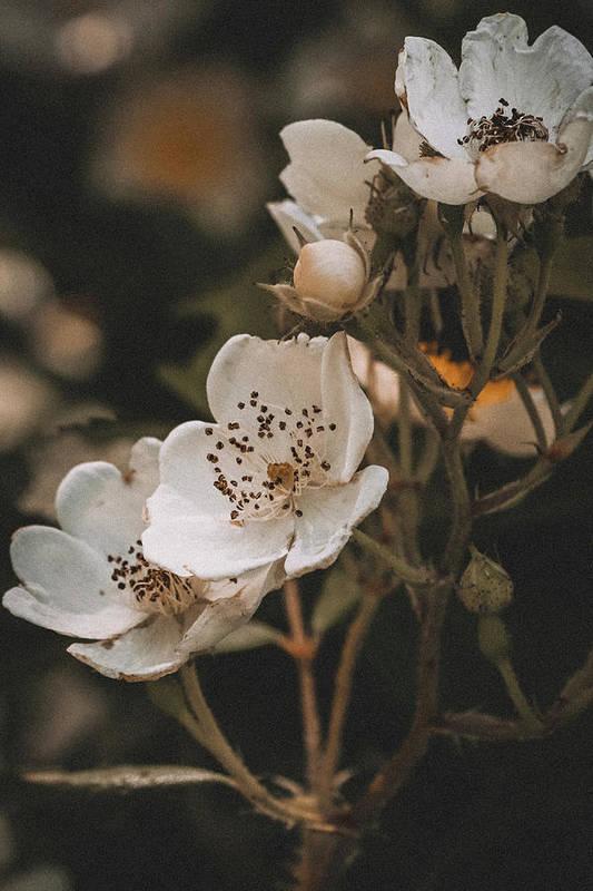 Wild Roses by Hannah Vega