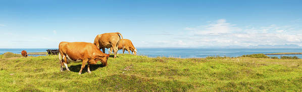 Water's Edge Art Print featuring the photograph Cattle Grazing In Picturesque Meadow by Fotovoyager