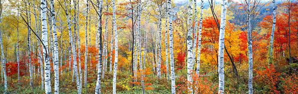 Photography Art Print featuring the photograph Fall Trees, Shinhodaka, Gifu, Japan by Panoramic Images
