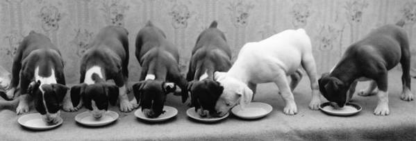 Milk Art Print featuring the photograph Greedy Pup by Fred Morley