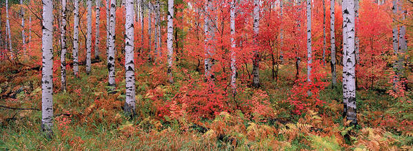Panoramic Art Print featuring the photograph The Wasatch Mountain Forest Of Maple by Mint Images - David Schultz