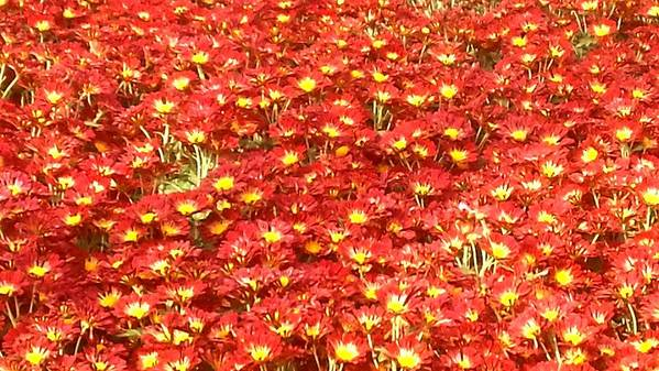 Red Sea Of Flowers Art Print featuring the photograph Red Sea of flowers by Usha Shantharam