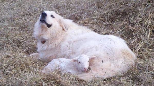 Great Pyrenees Dog Art Print featuring the photograph Isabel and Molly 2 by Ginger Concepcion