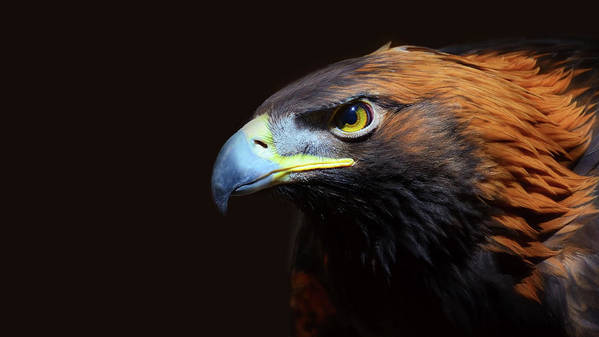 Animal Themes Art Print featuring the photograph Female Golden Eagle by A L Christensen