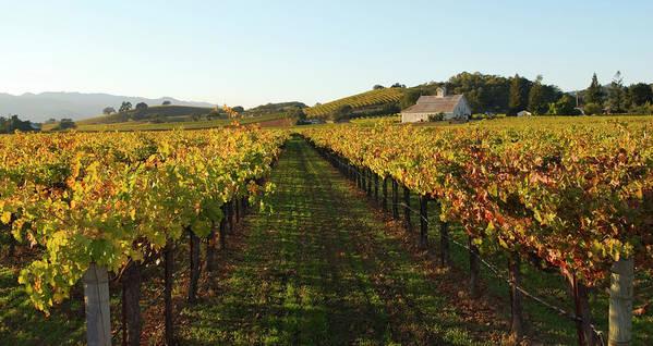 Scenics Art Print featuring the photograph Napa Valley Vineyard In Autumn by Leezsnow