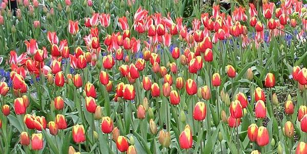 Art Print featuring the photograph Red and Yellow Tulips by Valerie Josi