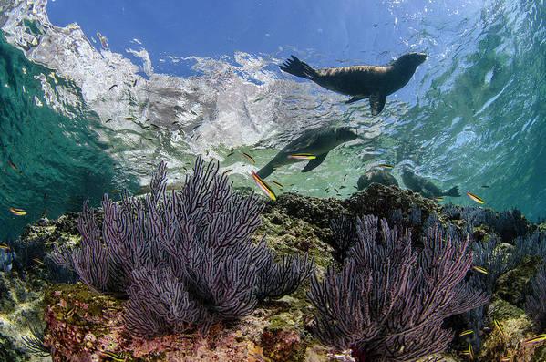 Latin America Art Print featuring the photograph California Sea Lion Undersea by Luis Javier Sandoval