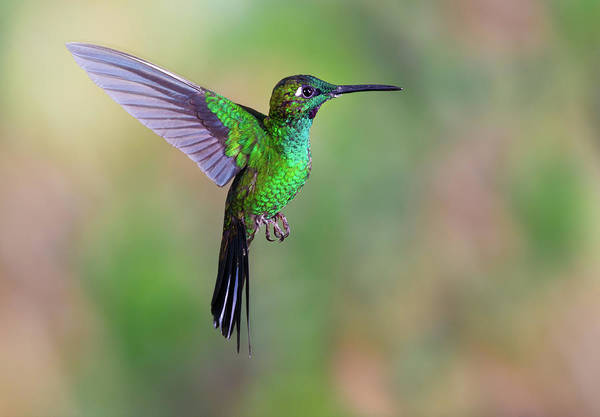 Green-crowned Brilliant Art Print featuring the photograph Hummingbird , Green-crowned Brilliant by Kencanning