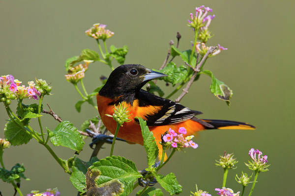 Adult Art Print featuring the photograph Baltimore Oriole (icterus Galbula by Larry Ditto