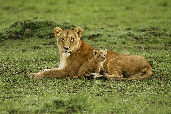 Lion Art Print featuring the photograph Mama's Little Baby by Michele Burgess