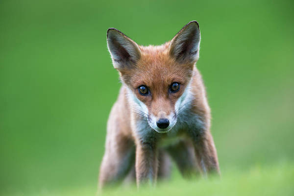 Conspiracy Art Print featuring the photograph Red Fox Cub Portrait by James Warwick