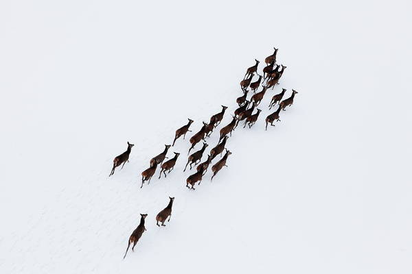 Scenics Art Print featuring the photograph Aerial Photo Of A Herd Of Deer Running by Dariuszpa
