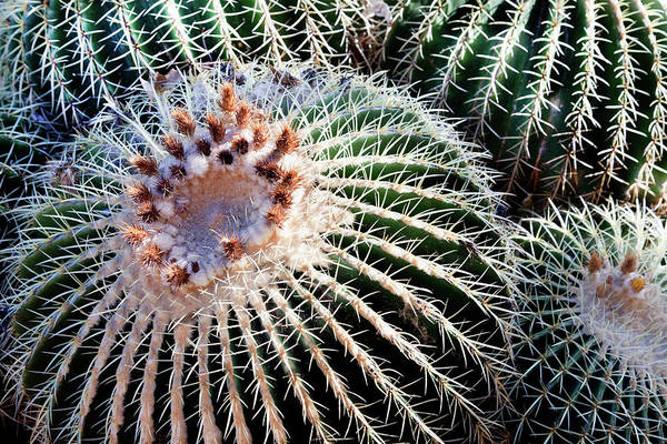 Care Art Print featuring the photograph Barrel Cacti by Steve@colorado