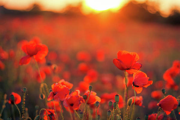 Tranquility Art Print featuring the photograph Beautiful Sunset Over Poppy Field by Levente Bodo