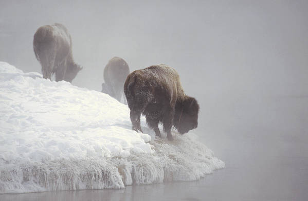Feb0514 Art Print featuring the photograph Bison Along Snowy Riverbank Yellowstone by Konrad Wothe