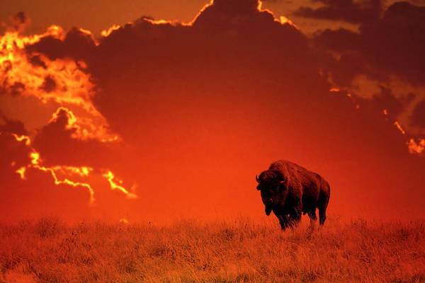 Scenics Art Print featuring the photograph Bison At Sunset by Mark Newman