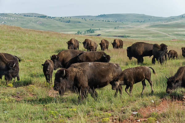 Grass Art Print featuring the photograph Bison Buffalo In Wind Cave National Park by Mark Newman