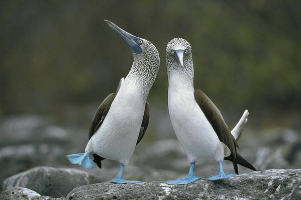 00141144 Art Print featuring the photograph Blue Footed Booby Dancing by Tui De Roy