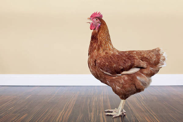 Hen Art Print featuring the photograph Brown Hen by Little Brown Rabbit Photography