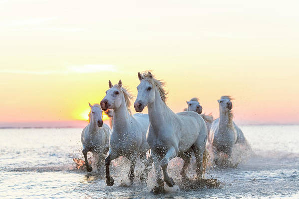Animal Themes Art Print featuring the photograph Camargue White Horses Running In Water by Peter Adams