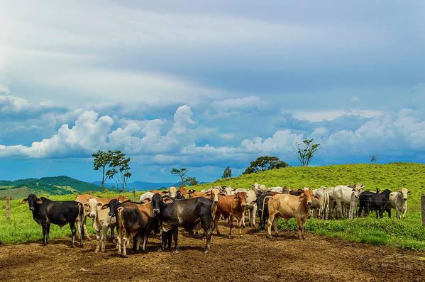 Grass Art Print featuring the photograph Cattle by Kcris Ramos