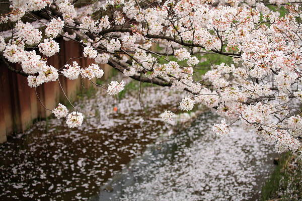 Season Art Print featuring the photograph Cherry Blossoms by Photography By Zhangxun