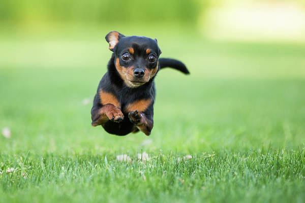 Pets Art Print featuring the photograph Chihuahua Dog Running by Purple Collar Pet Photography