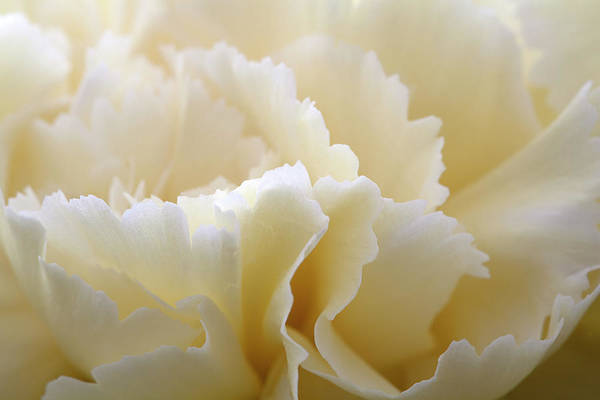 Netherlands Art Print featuring the photograph Cream Coloured Carnation, Close-up by Roel Meijer