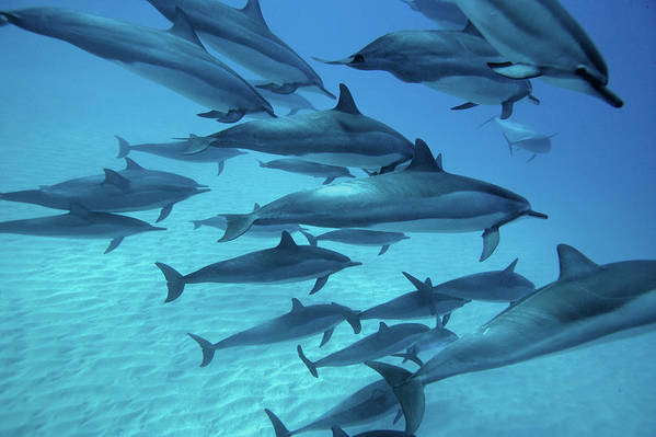 Underwater Art Print featuring the photograph Dolphins Spinners by M Swiet Productions