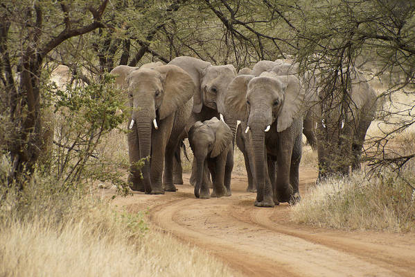 Africa Art Print featuring the photograph Elephants Have the Right of Way by Michele Burgess