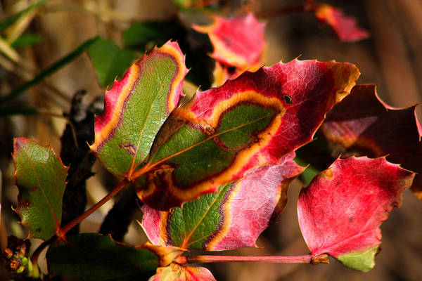 Leaves Art Print featuring the photograph Flaming Leaves by Shane Bechler