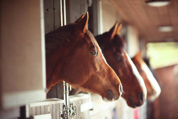 Horse Art Print featuring the photograph Four Horses In Stables by Olivia Bell Photography
