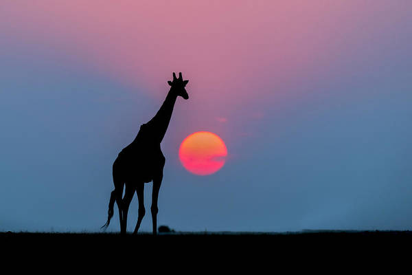 Nis Art Print featuring the photograph Giraffe At Sunset Chobe Np Botswana by Andrew Schoeman