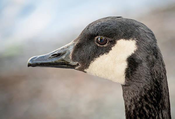Goose Portrait Art Print featuring the photograph Goose Profile by Len Romanick