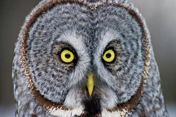 Animal Themes Art Print featuring the photograph Great Gray Owl by Copyright Michael Cummings