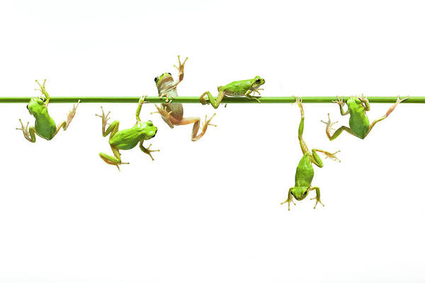 Hanging Art Print featuring the photograph Green Flogs Each Other Freely On Stem by Yuji Sakai