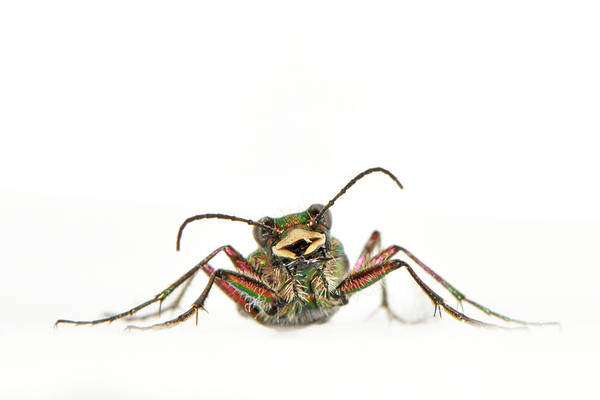 White Background Art Print featuring the photograph Green Tiger Beetle by Robert Trevis-smith