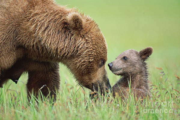 00345260 Art Print featuring the photograph Grizzly Bear And Cub in Katmai by Yva Momatiuk John Eastcott