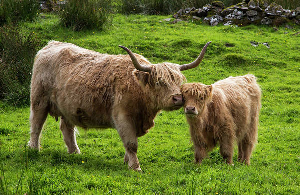 Horned Art Print featuring the photograph Highland Cattle And Calf by John Short / Design Pics