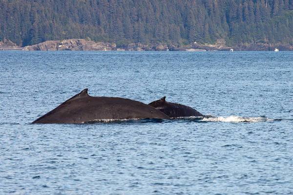 Art Print featuring the photograph Humback Whale and Calf by Richard Jack-James