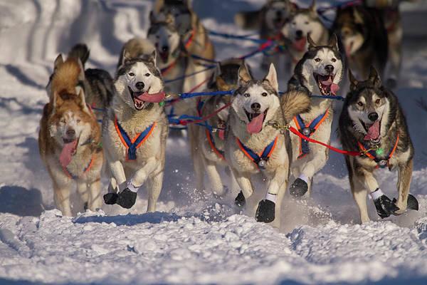 Snow Art Print featuring the photograph Iditarod Huskies by Alaska Photography