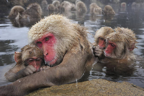 Thomas Marent Art Print featuring the photograph Japanese Macaque Grooming Mother by Thomas Marent