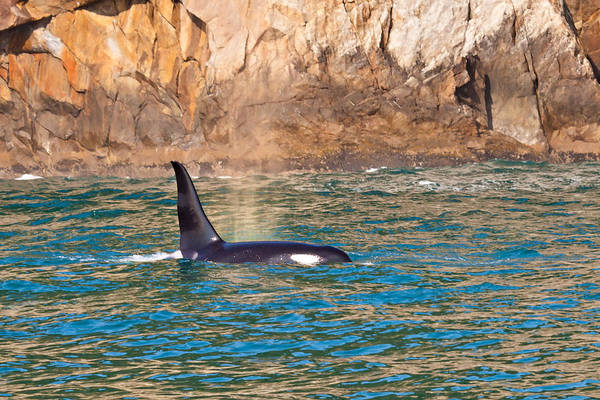 Art Print featuring the photograph Killer Whale by Richard Jack-James