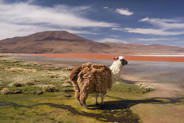 Scenics Art Print featuring the photograph Laguna Colorado Lake With Llama by John Elk