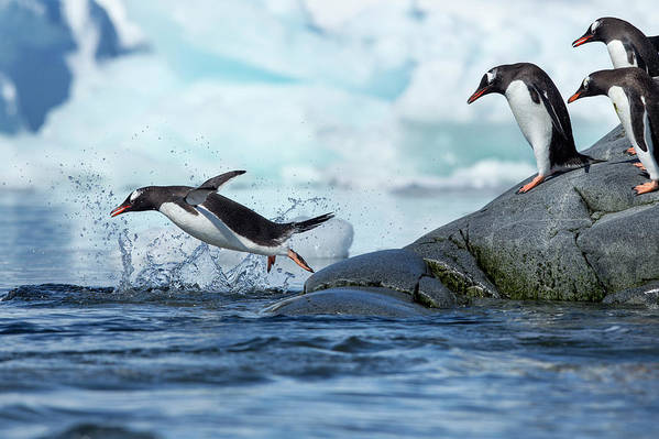Water's Edge Art Print featuring the photograph Leaping Gentoo Penguins, Antarctica by Paul Souders